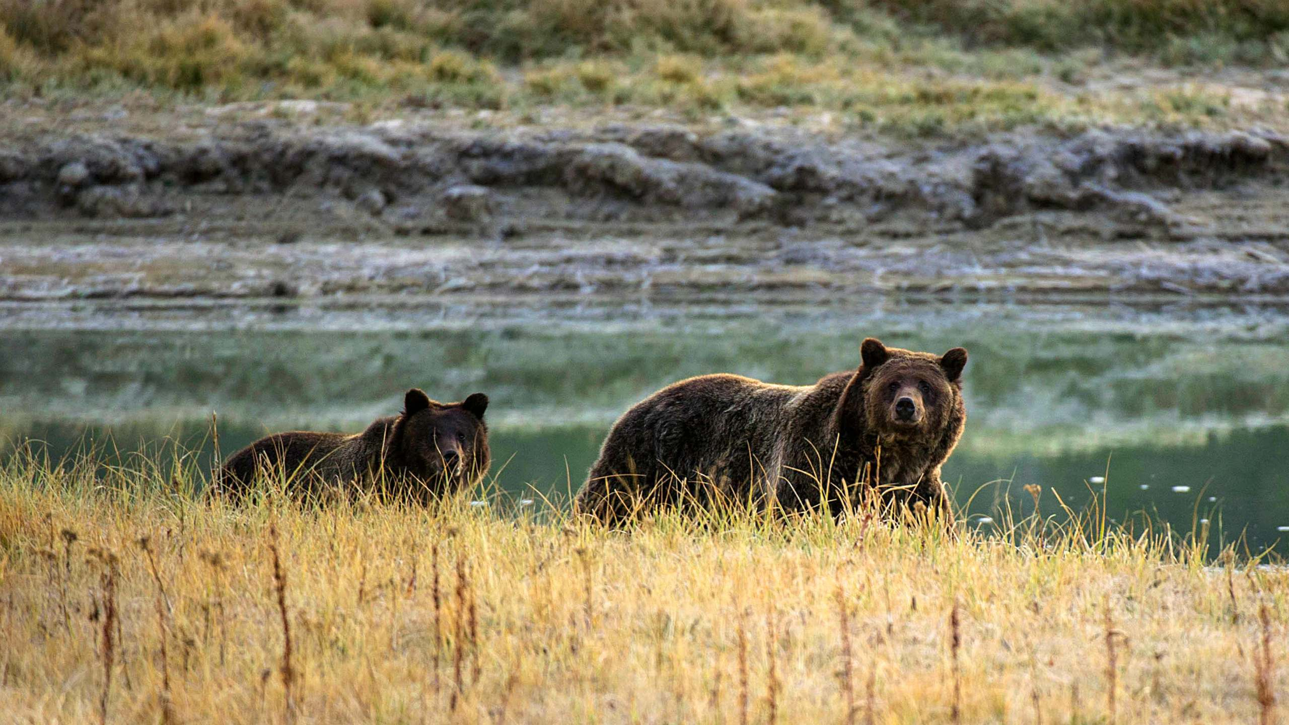 A grizzly bear mother and her cub walk near Pelican Creek on Oct. 8, 2012, in the Yellowstone National Park. (Credit: KAREN BLEIER/AFP/GettyImage)