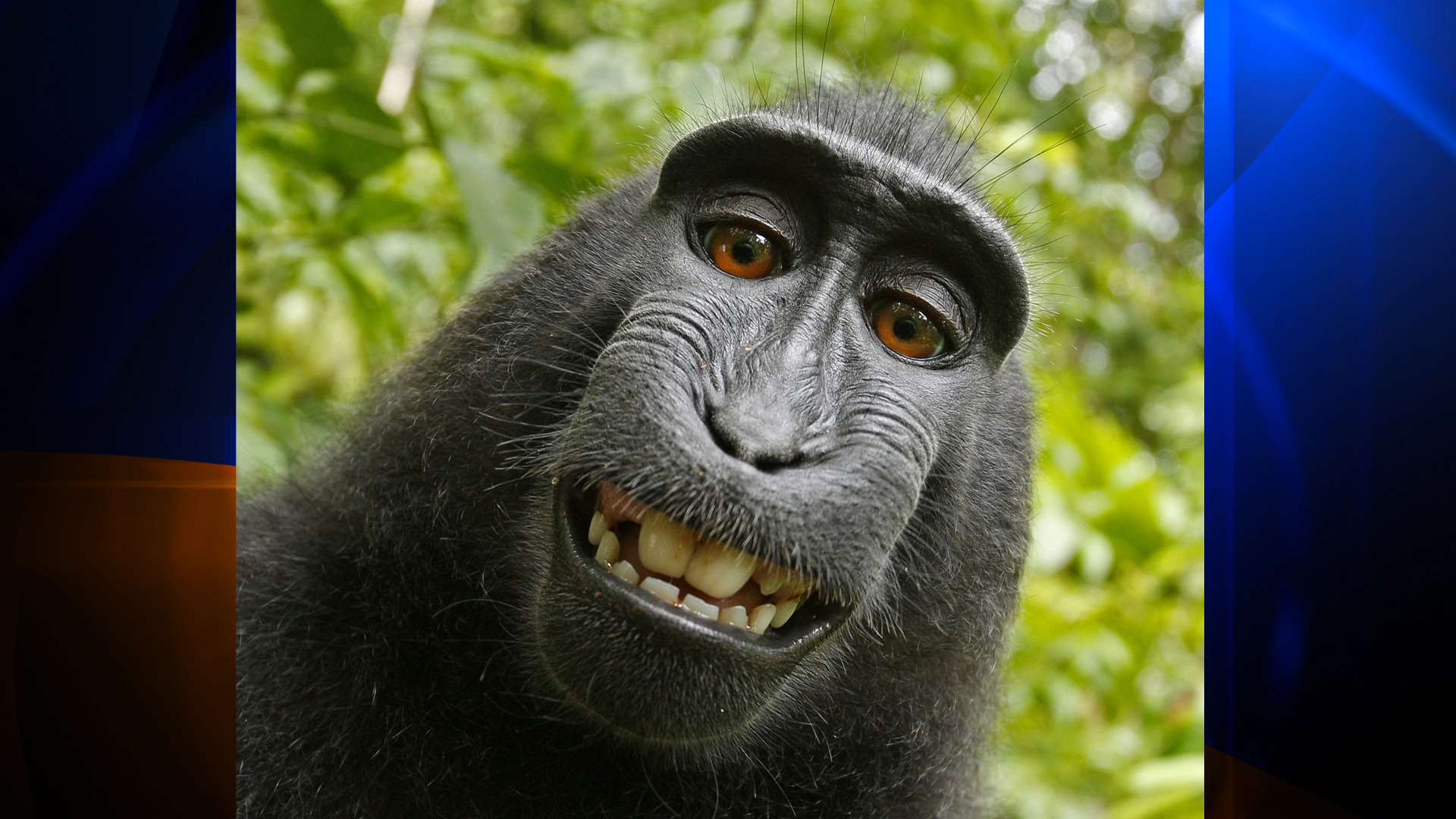 The photographer behind the famous monkey selfie picture is threatening to take legal action against Wikimedia after they refused to remove his picture because 'the monkey took it'. (Credit: Caters News Agency via CNN Wire)