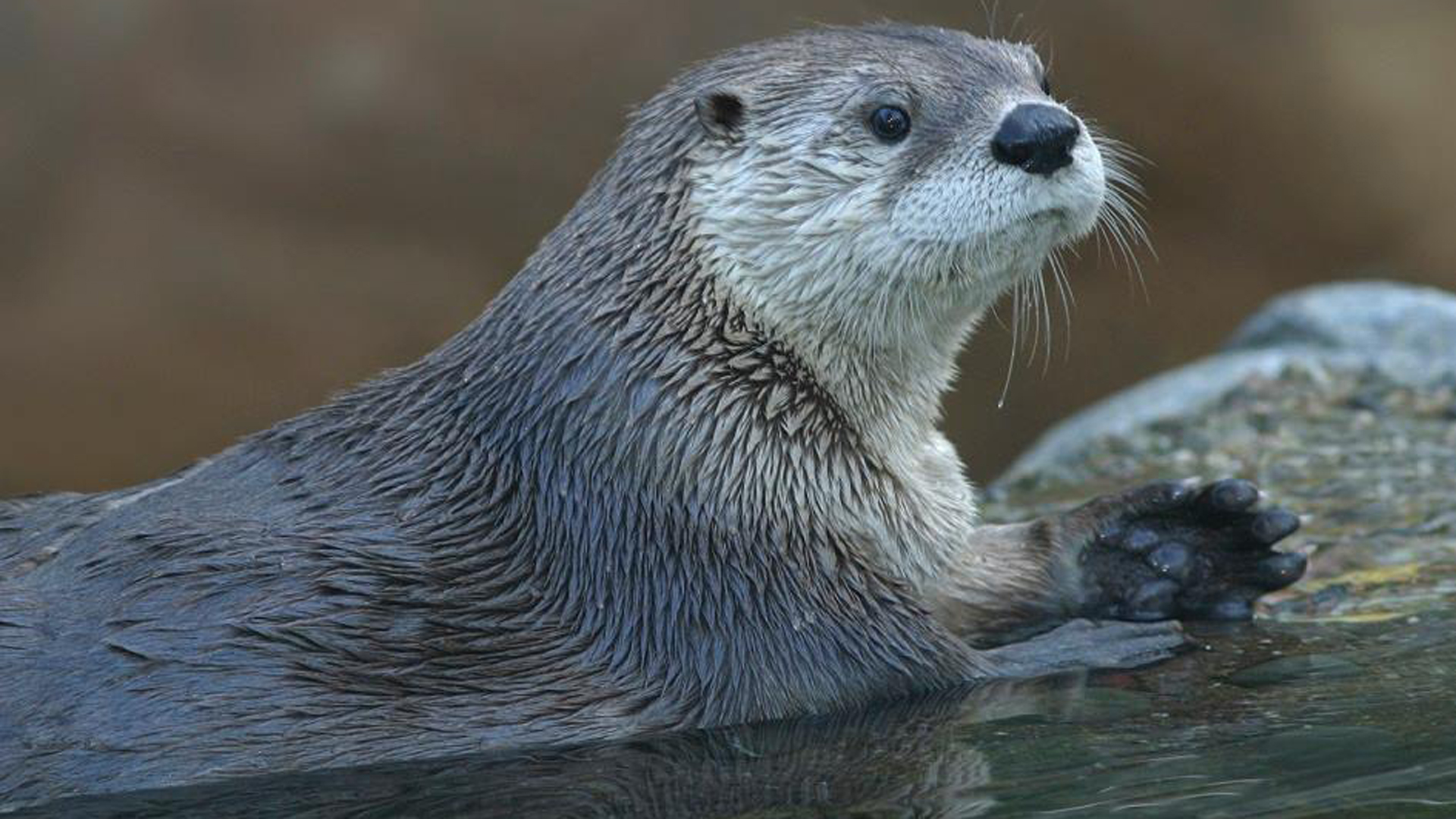 An unidentified North American river otter is seen in a file photo from the Calgary Zoo's Facebook page.