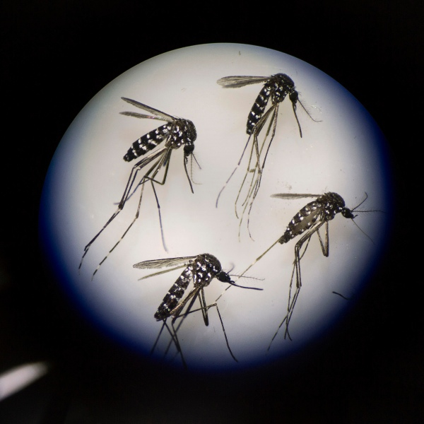Adult female mosquitoes to be used in Zika virus research are seen under a microscope at the Sun Yat-Sen University-Michigan University Joint Center of Vector Control for Tropical Disease on June 21, 2016, in Guangzhou, China. (Credit: Kevin Frayer/Getty Images)