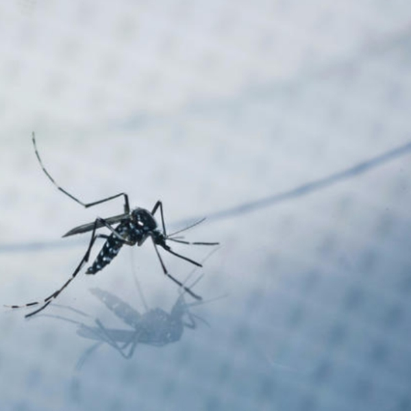An adult Aedes albopictus, also known as the Asian tiger mosquito, is caught for a test sample in a Silver Lake backyard. (Credit: Marcus Yam / Los Angeles Times)