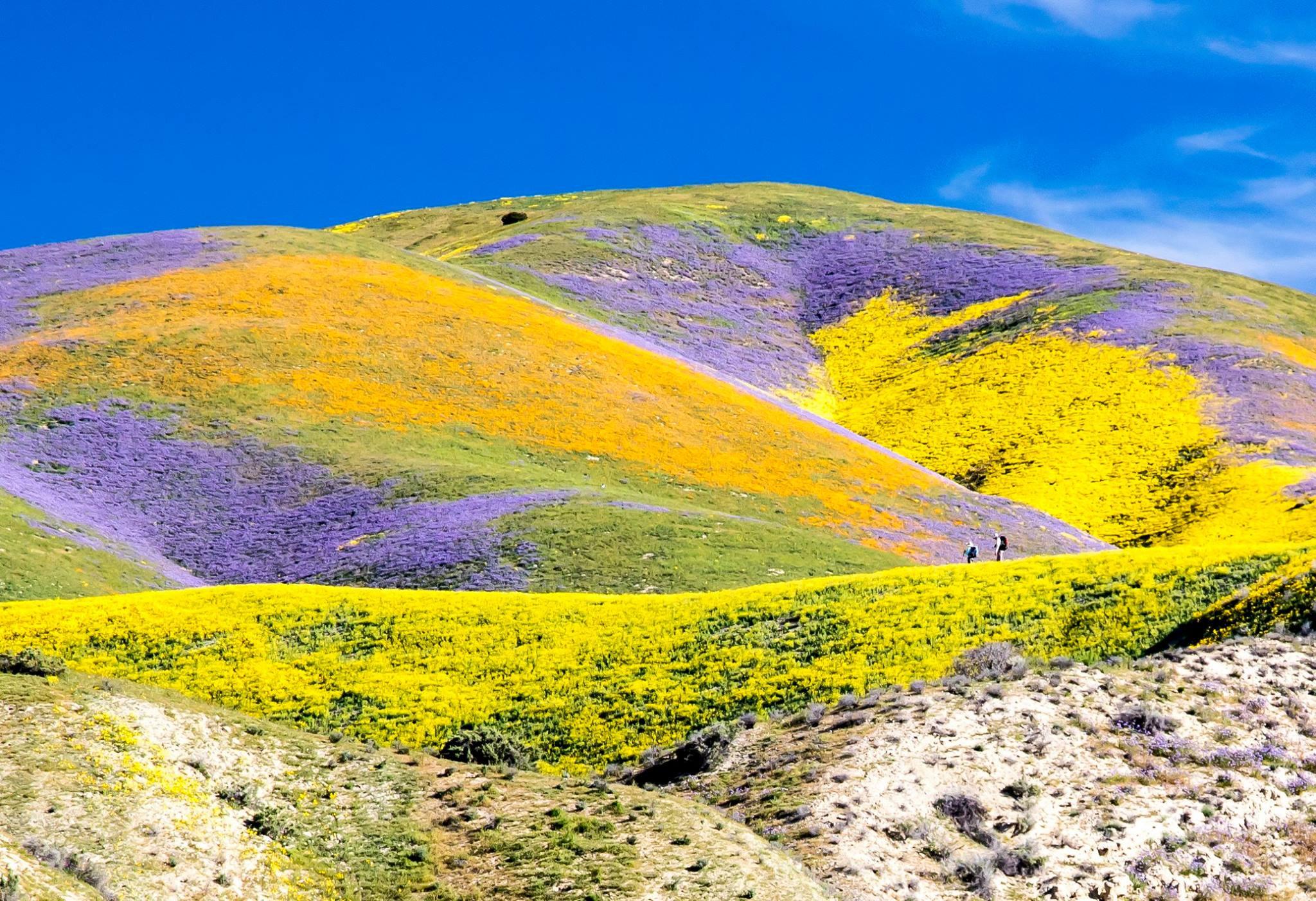 "A ""super bloom"" of wildflowers is show in Carrizo Plain National Monument in April 2017. (Credit: Bob Wick / Bureau of Land Management)"