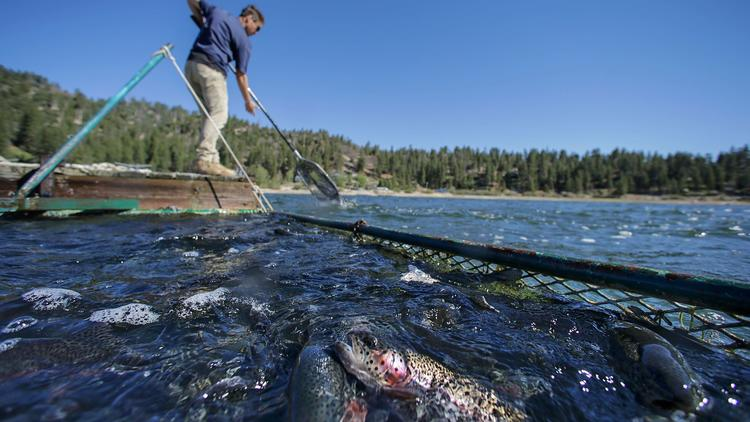 A man plants trout in Big Bear Lake in an undated photo. Big Bear Lake currently stocks trout from a Fish and Wildlife hatchery in Northern California. (Irfan Khan / Los Angeles Times)