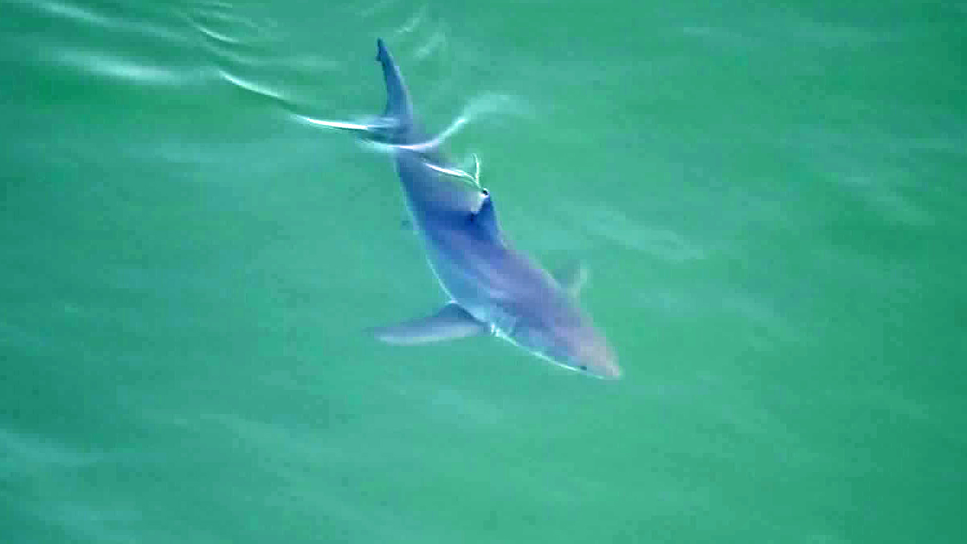 A shark is seen off the coast of Southern California on May 11, 2017. (Credit: KTLA)