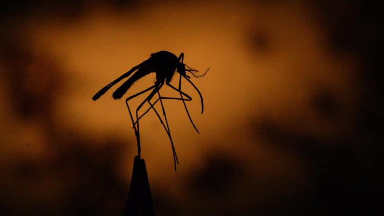 Culex mosquitoes, which most Californians are familiar with, spread West Nile virus. (Credit: Bob Chamberlin / Los Angeles Times)