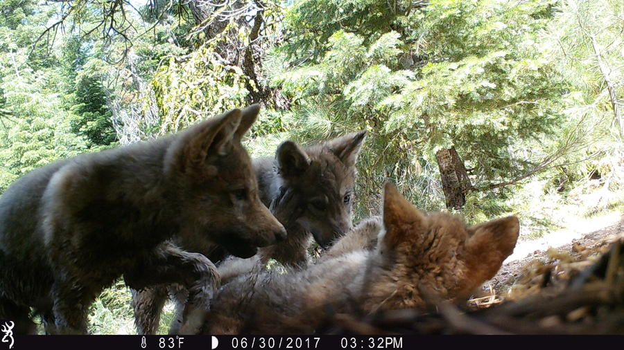 A remote U.S. Forest Service trail camera captured three gray wolf pups playing in Lassen County in 2017.