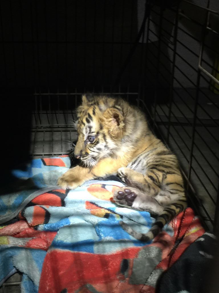 A tiger cub is seen in photos released by U.S. Customs and Border Protection on Aug. 24, 2017.
