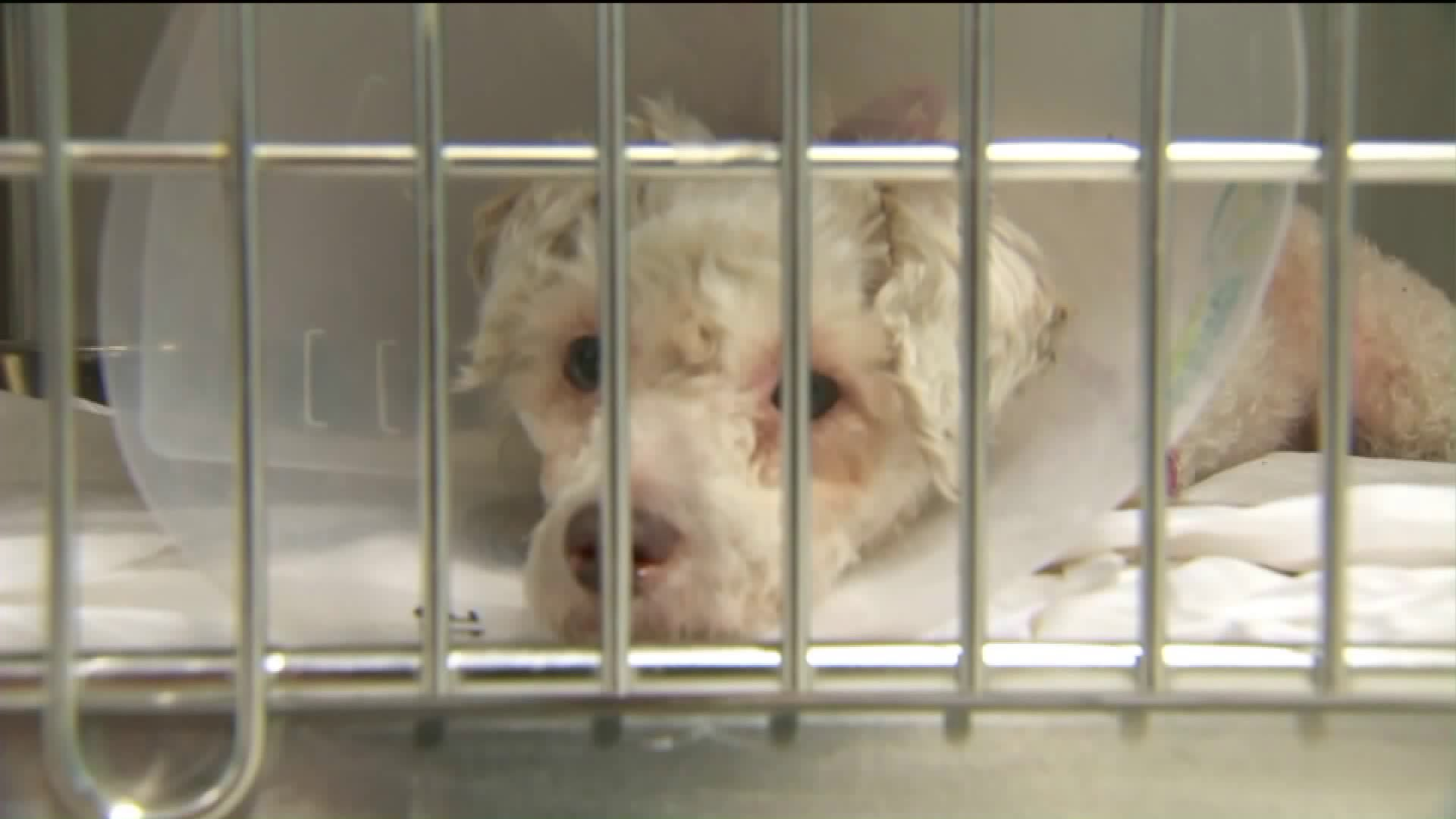 A pet dog is shown in an animal hospital in Agora Hills on September 6, 2017. (Credit: KTLA)