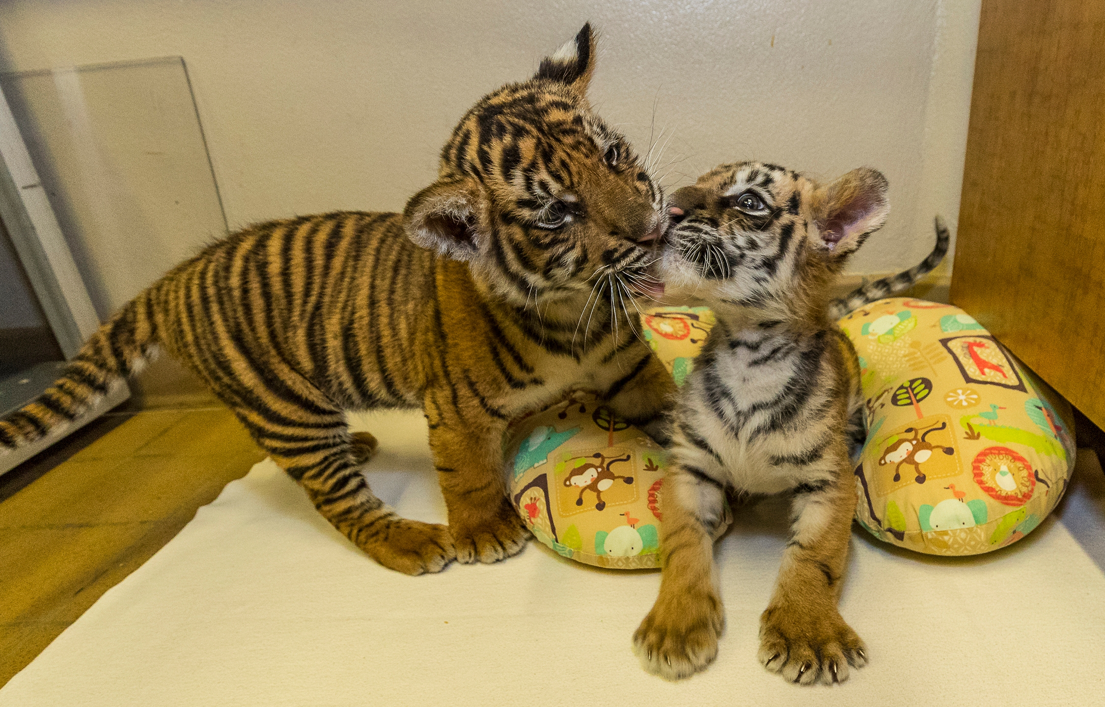A 9-week-old Sumatran tiger cub, left, greets an approximately 7-week-old Bengal tiger cub at the San Diego Zoo Safari Park's Ione and Paul Harter Animal Care Center Sept. 11, 2017. (Credit: Christina Simmons / San Diego Zoo Safari Park)