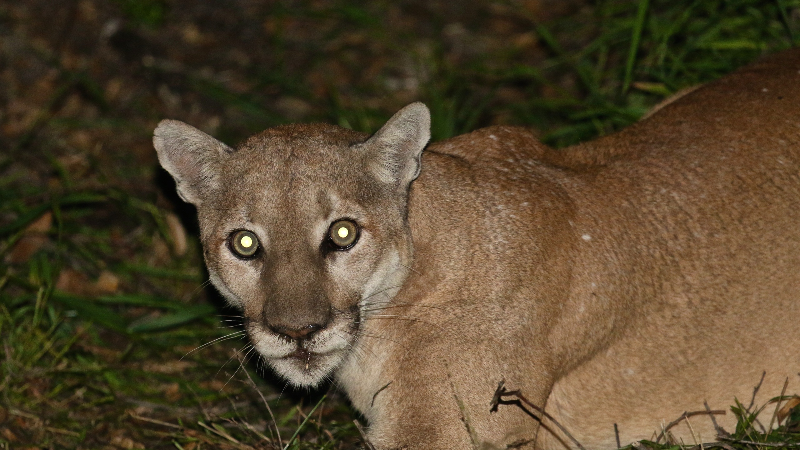 P-41, a 10-year-old male mountain lion is shown in an undated photo provided by the National Park Service on Oct. 5, 2017.