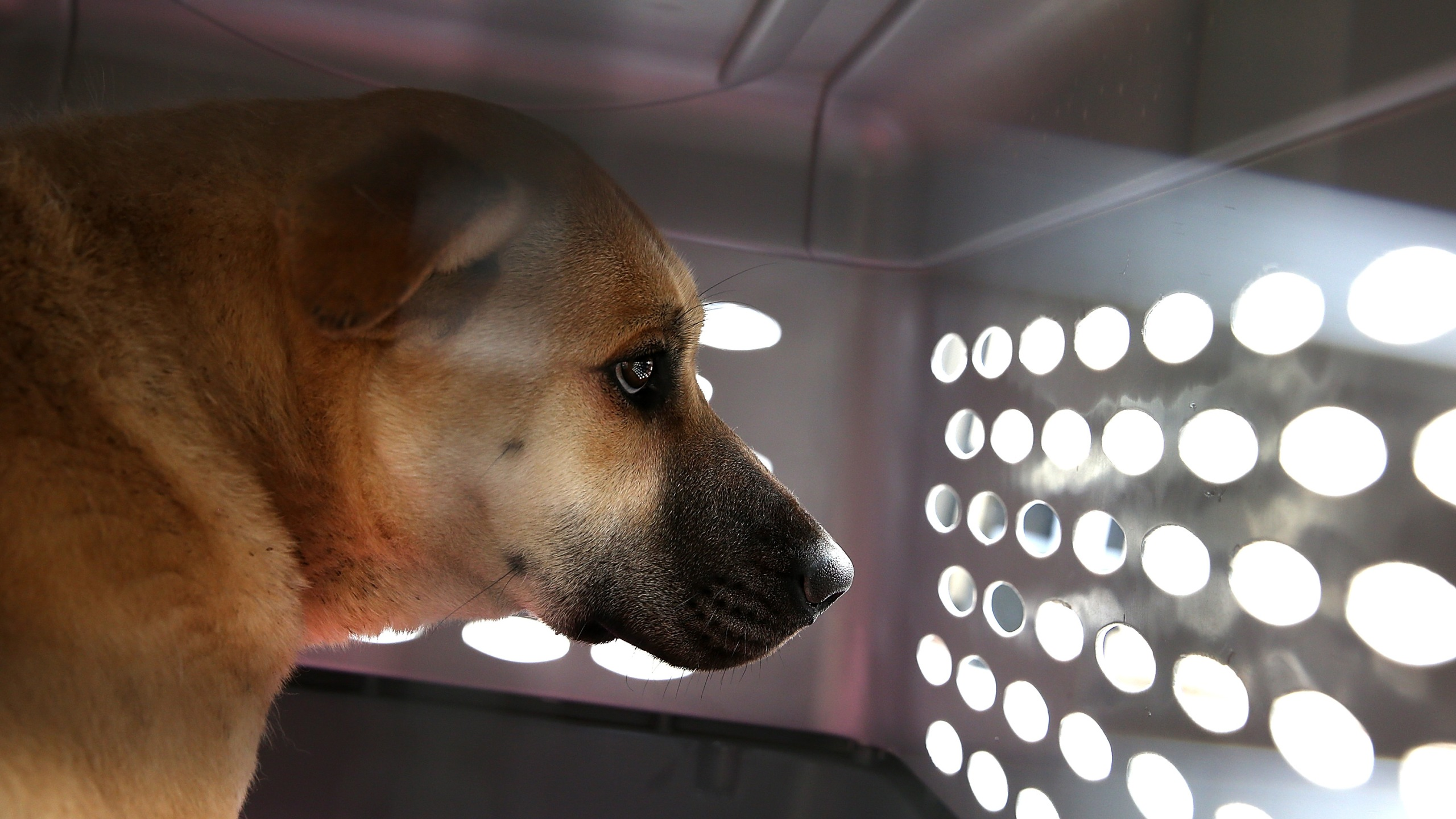 A dog rescued from a South Korean dog meat farm sits in a crate at the San Francisco the San Francisco Society for the Prevention of Cruelty (SPCA) shelter on March 20, 2015. (Credit: Justin Sullivan / Getty Images)