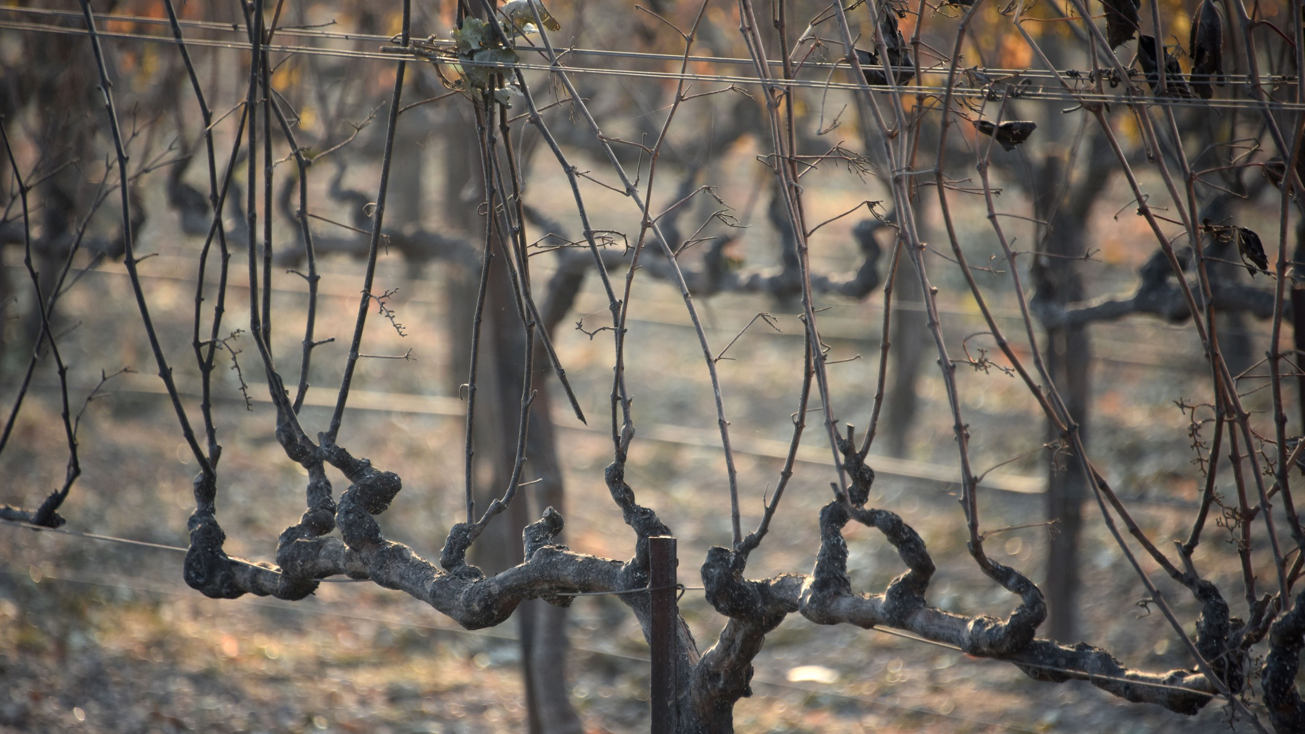 Grape vines damaged by heat from wildfires are seen at a vineyard in Santa Rosa, California, on October 11, 2017. (Credit: ROBYN BECK/AFP/Getty Images)