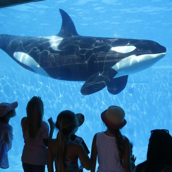 SeaWorld San Diego visitors view an orca whale through a window at the park on Aug 14, 2014. (Credit: Don Bartletti / Los Angeles Times)