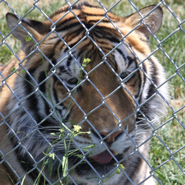 Tiger recovered during Operation Jungle Book in the Los Angeles area. (Credit: USFWS)