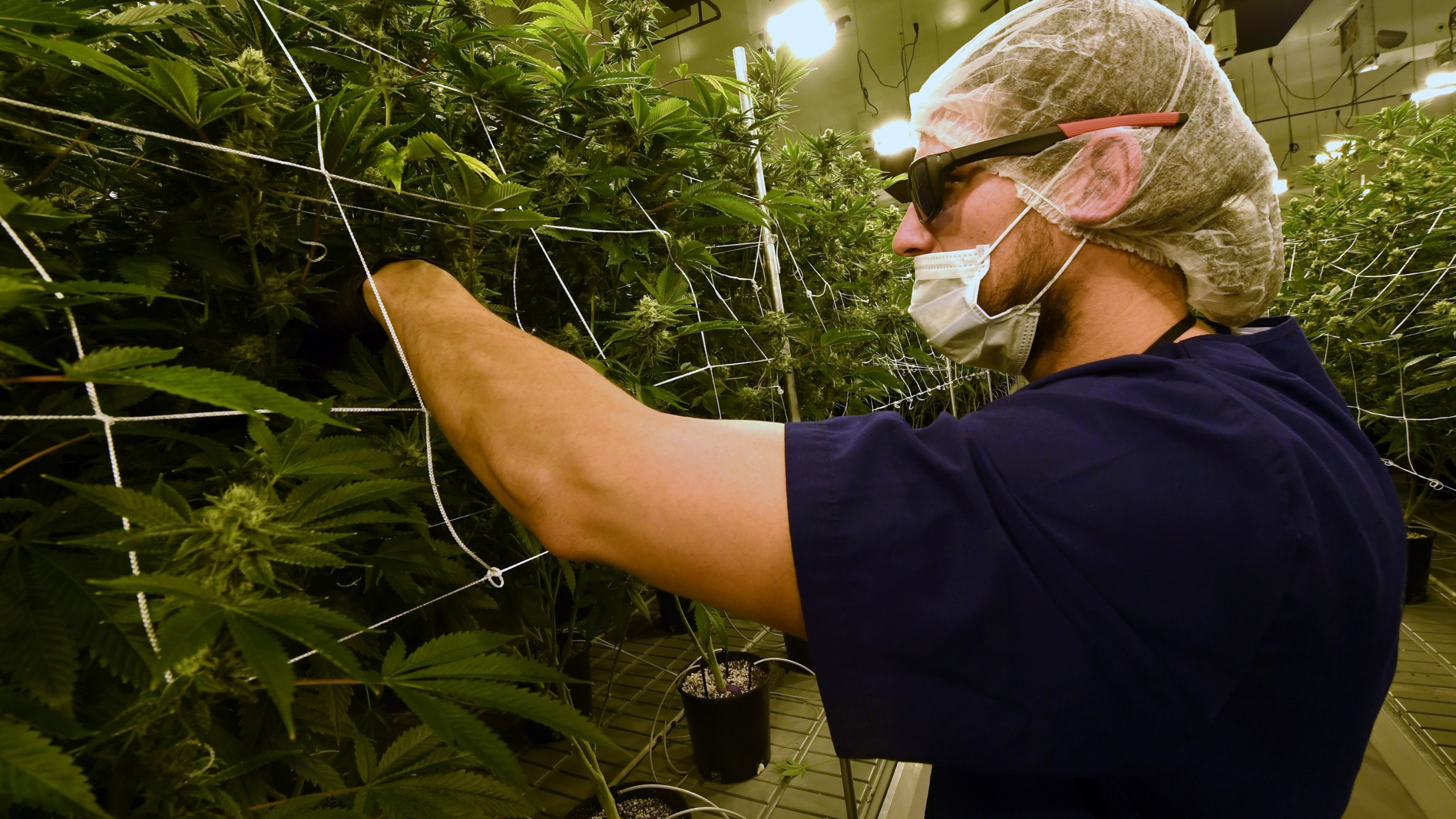 David Burr demonstrates removing leaves on marijuana plants to allow more light for growth at Essence Vegas' 54,000-square-foot marijuana cultivation facility on July 6, 2017, in Las Vegas, Nevada. (Credit: Ethan Miller / Getty Images)