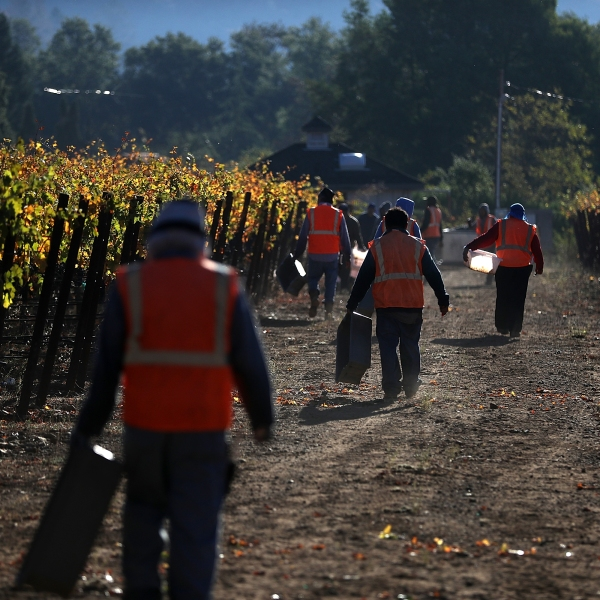 Field workers with Palo Alto Vineyard Management prepare to harvest Syrah grapes on October 25, 2017 in Kenwood, California. (Credit: Justin Sullivan/Getty Images)