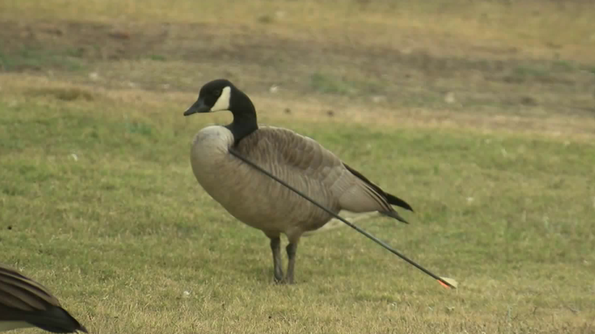 Rescuers tried to nab the goose in order to get the arrow out of its neck on Dec. 19, 2017. Those efforts were unsuccessful, but a day later, the arrow fell from the bird's neck without intervention. (Credit: KTLA)