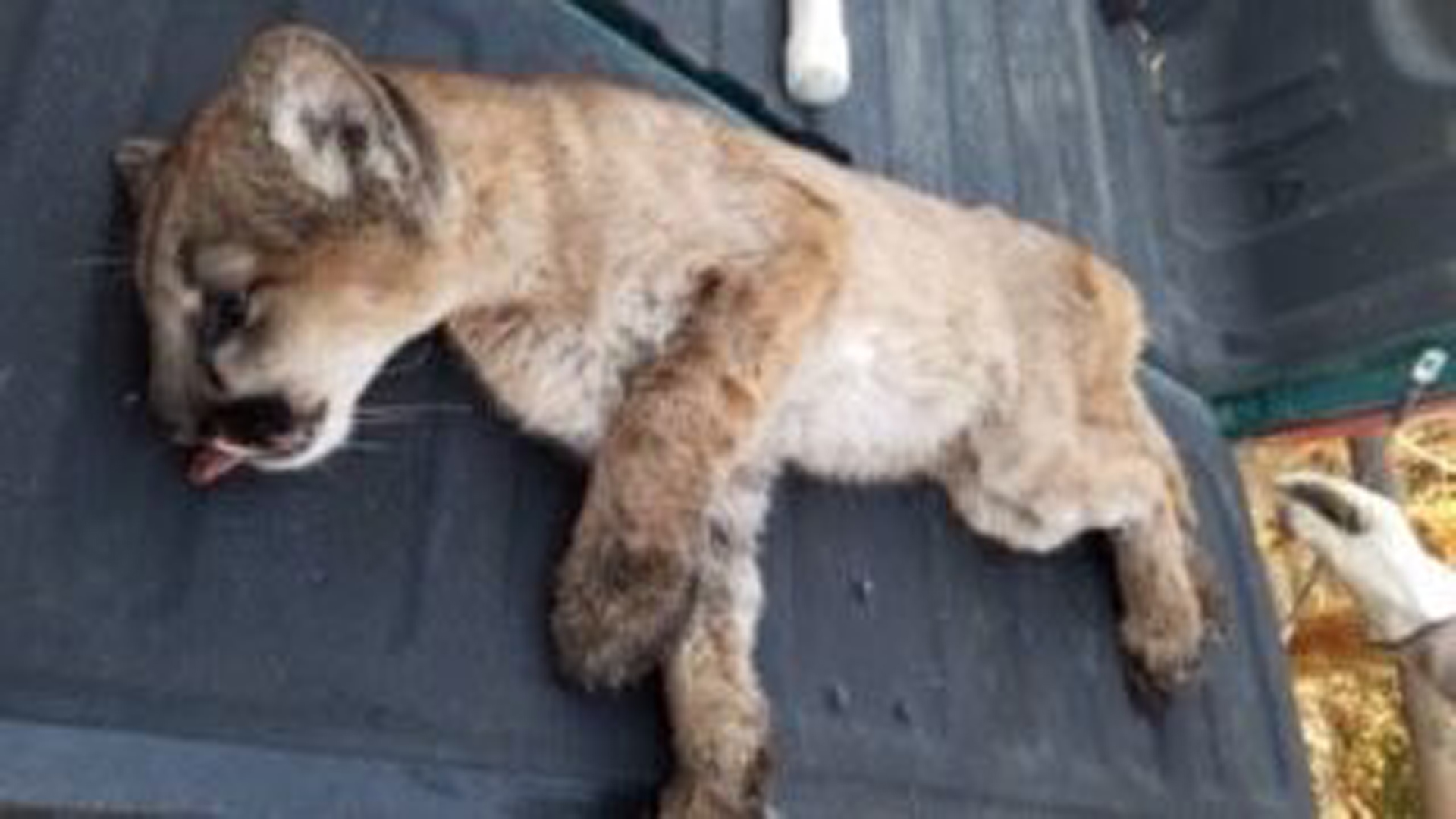 A mountain lion that was found injured in the Thomas Fire burn area was rescued on Dec. 22, 2017. (Courtesy: City of Santa Paula)