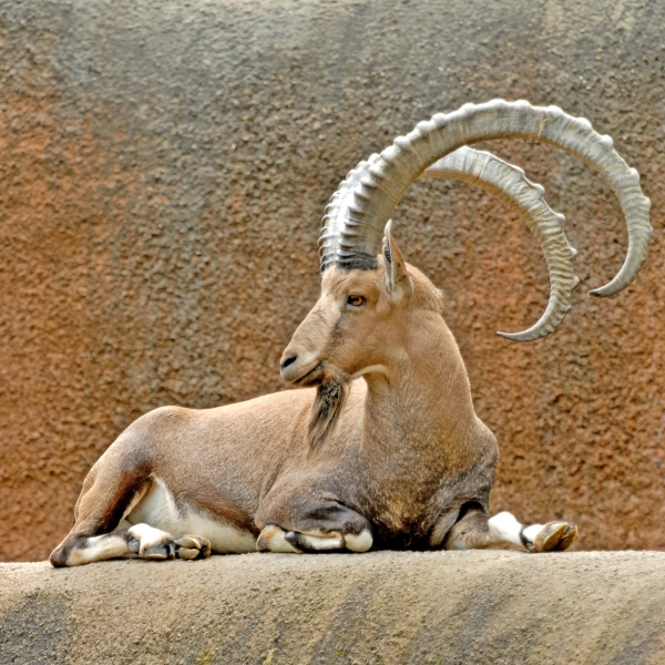 A male Nubian ibex is shown in a photo provided by the Los Angeles Zoo on Dec. 21, 2017.