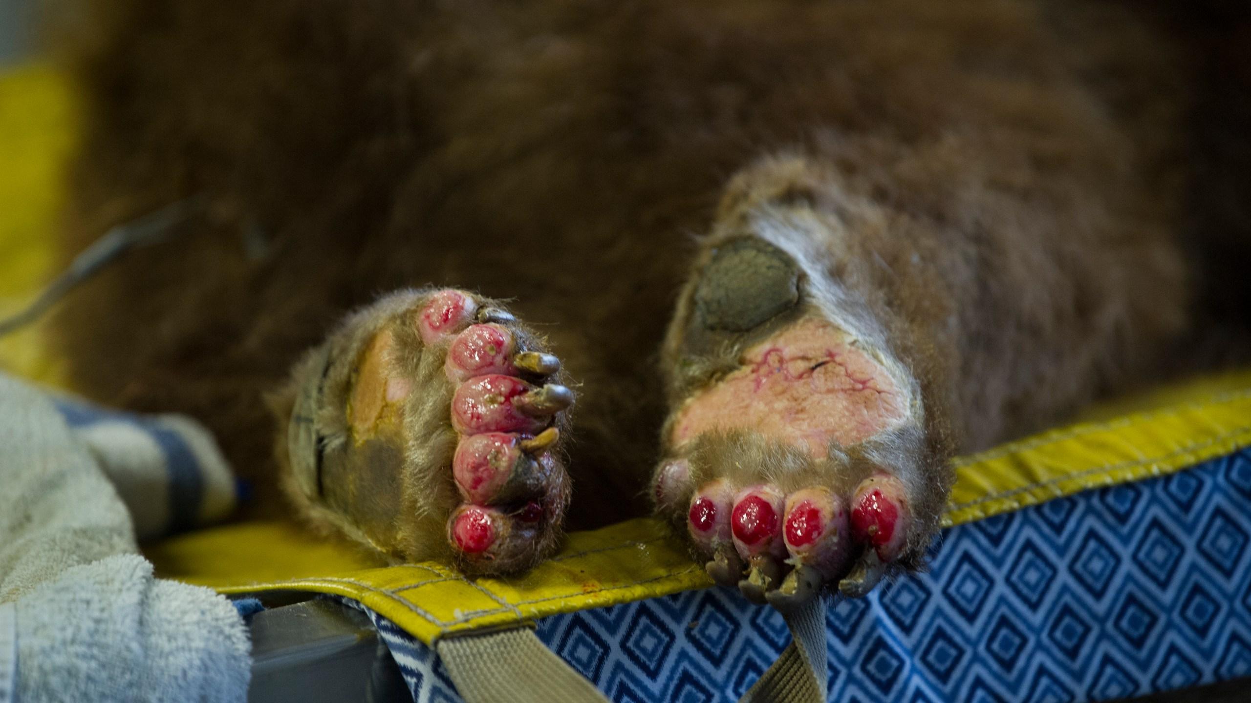 Bear brought to CDFW Wildlife Investigations Lab has severe third-degree burns on its paw. (Credit: Karin Higgins / UC Davis)