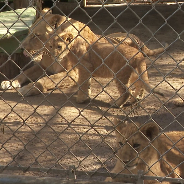 The lion family was evacuated during the recent Creek fire, which burned a portion of the property. (Credit: KTLA)