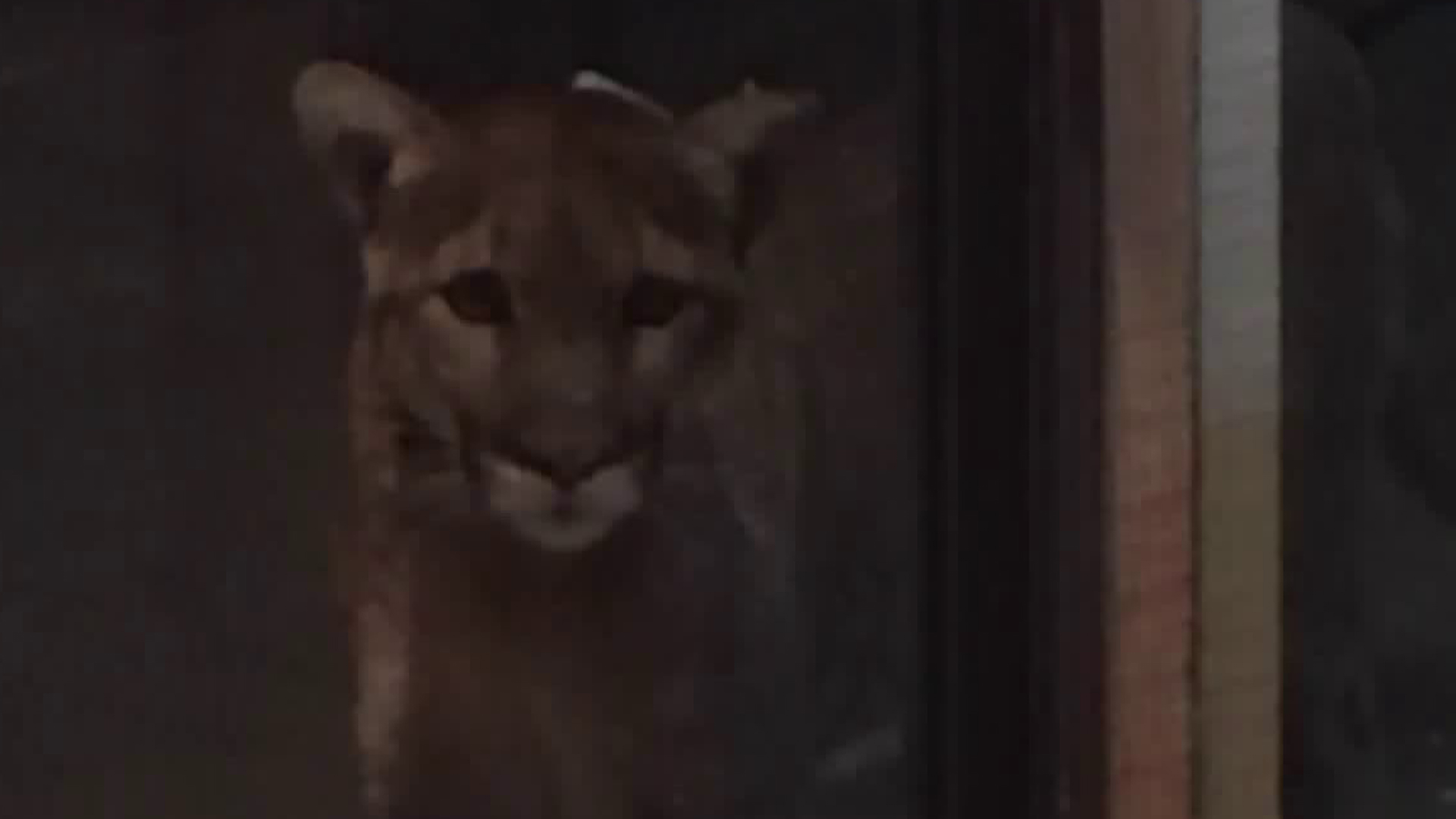 A Westlake Village family provided this close-up photo of a mountain lion who peered through their window in Feb. 2018.