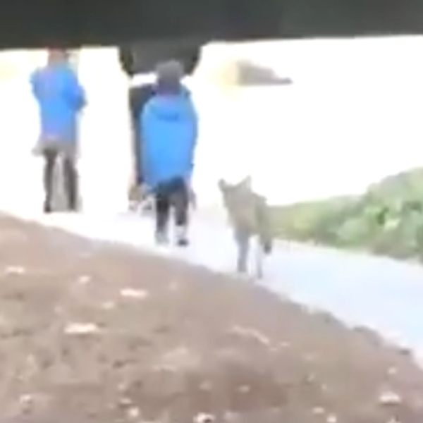 Aldrich Carles captured video of a coyote running up to a boy on the Cal State L.A. campus on March 14, 2018.