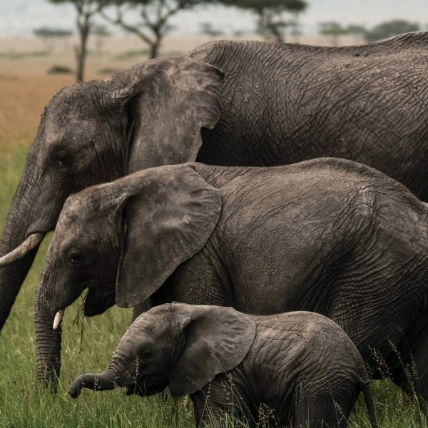 A photo taken on January 24, 2018, shows elephants feeding in the Mara Triangle, the north-western part of Masai Mara national reserve managed by non-profit organization Mara Conservancy, in southern Kenya. (Credit: YASUYOSHI CHIBA/AFP/Getty Images)