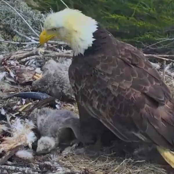 A Channel Islands National Park webcam captured a bald eagle nest during an earthquake on April 5, 2018.