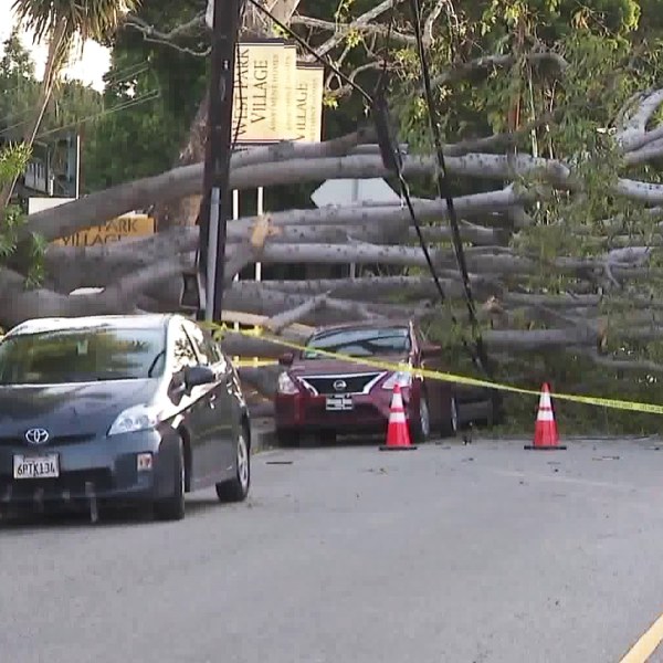 A ficus tree is seen after crashing down on four cars in West Los Angeles on April 14, 2018. (Credit: KTLA)