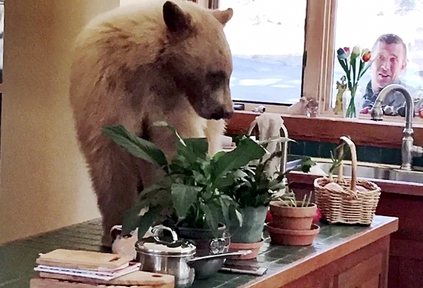 A bear is seen on the counter of a home in Lake Tahoe in a picture posted by the Placer County Sheriff's Office.