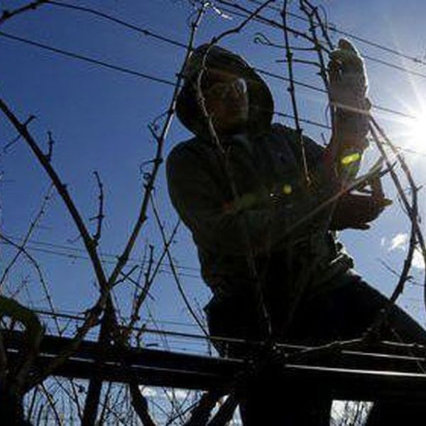 A worker tends a vineyard in Napa County in this undated photo. (Credit: Gary Coronado / Los Angeles Times)