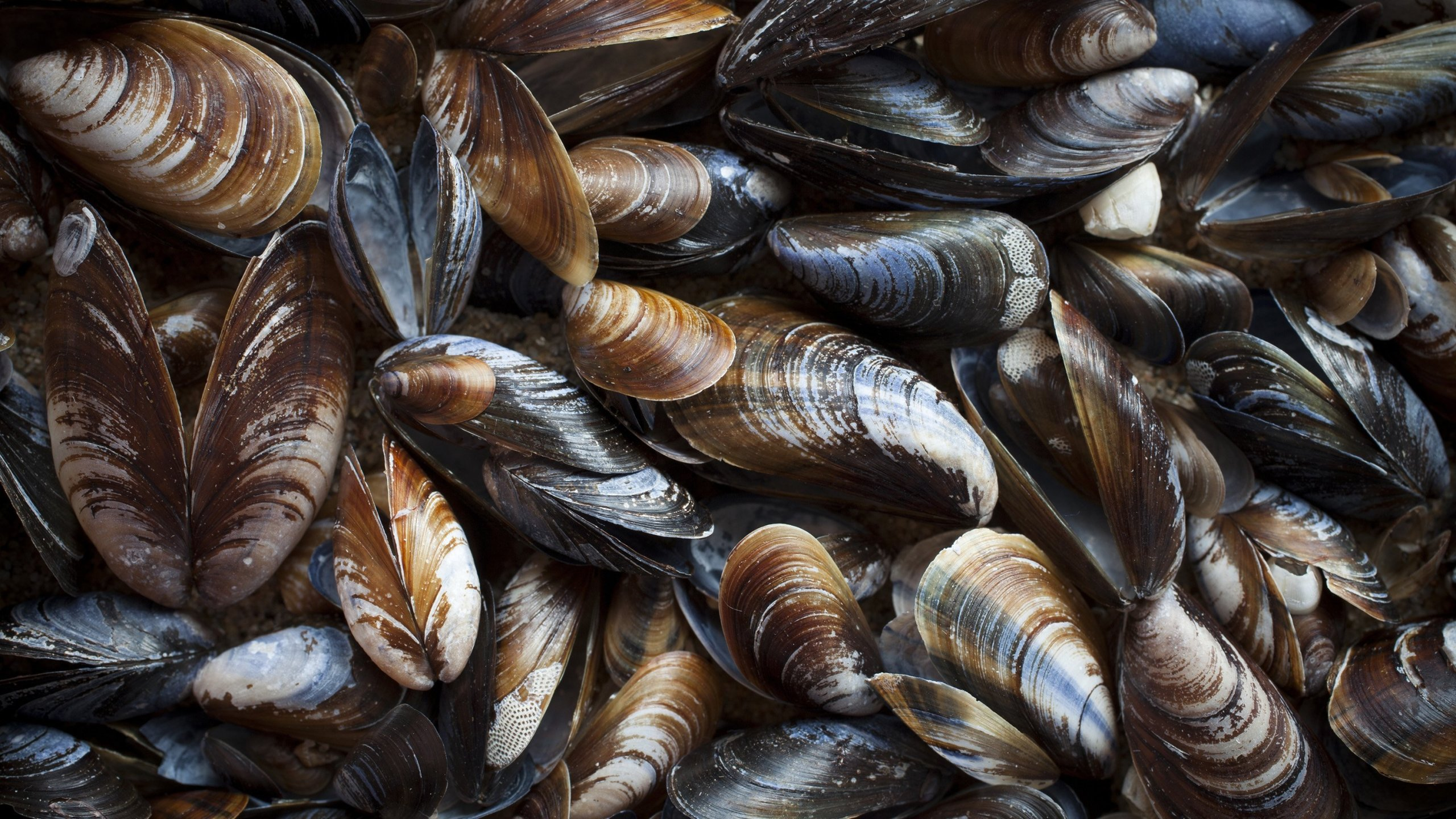 Mussels are displayed in an undated photo. (Credit: Shutterstock/Ingrid Maasik)