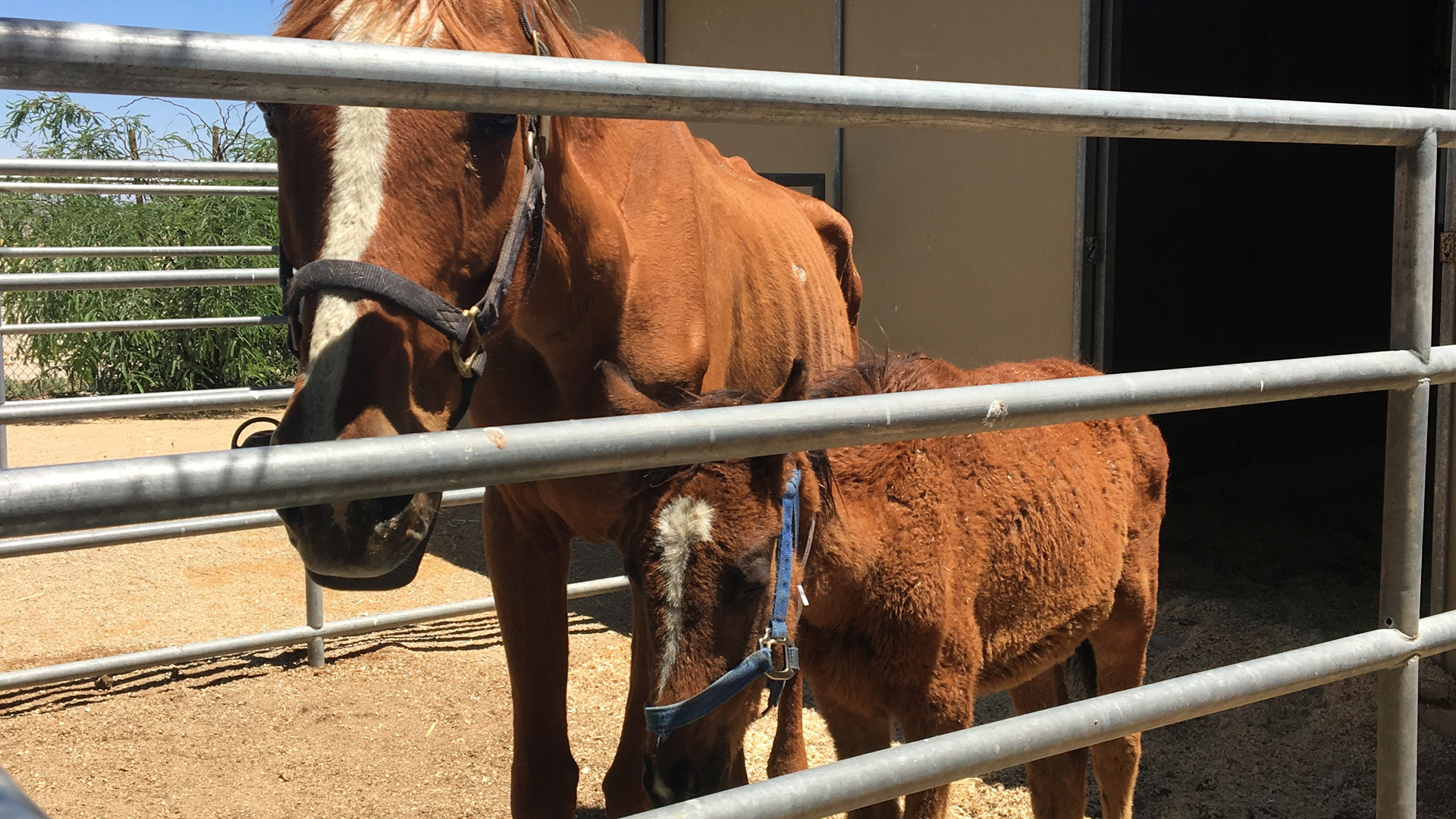 The Los Angeles County Department of Animal Care and Control provided this image of horses rescued in Lancaster on June 20, 2018.