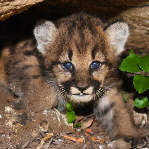 One of P-62's kittens is seen in an image provided by the National Park Service on June 19, 2018.