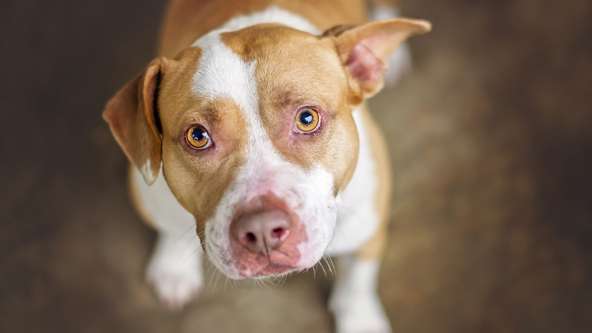 Delta said two employees were recently bitten by a pit bull traveling as a support animal. A tan and white pit bull dog -- unrelated to the incident -- is seen in an undated file photo. (Credit: iStock / Getty Images)