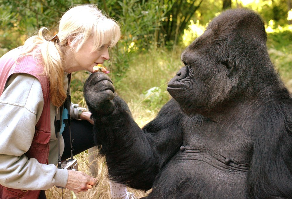 Koko, the gorilla who mastered sign language and showed the world what great apes can do, has died at age 46. He is shown in this undated photo with a handler. (Credit: The Gorilla Foundation)