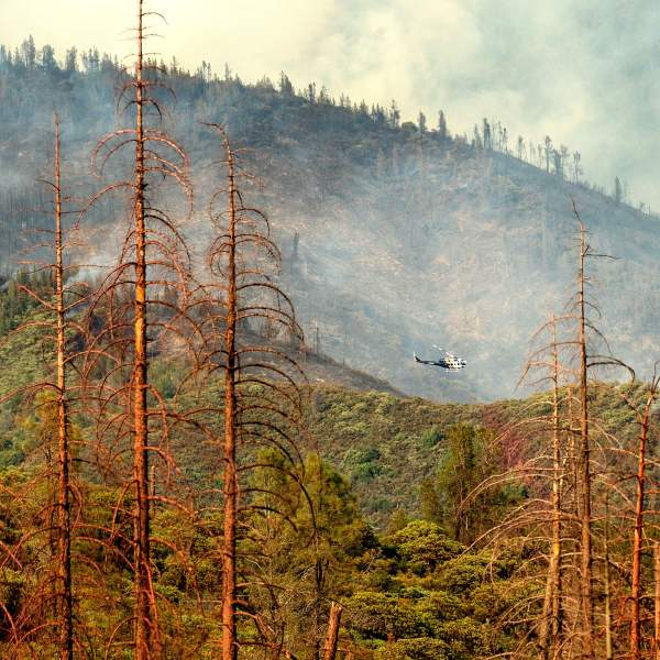 Dead trees line a clearing as a helicopter battling the Ferguson Fire passes in the Stanislaus National Forest on July 22, 2018. (Credit: Noah Berger / AFP / Getty Images)