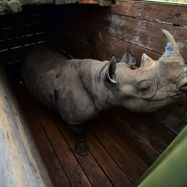 A female black rhinoceros about to the translocated, stands in a transport crate, in Nairobi National Park, on June 26, 2018. (Credit: TONY KARUMBA/AFP/Getty Images)