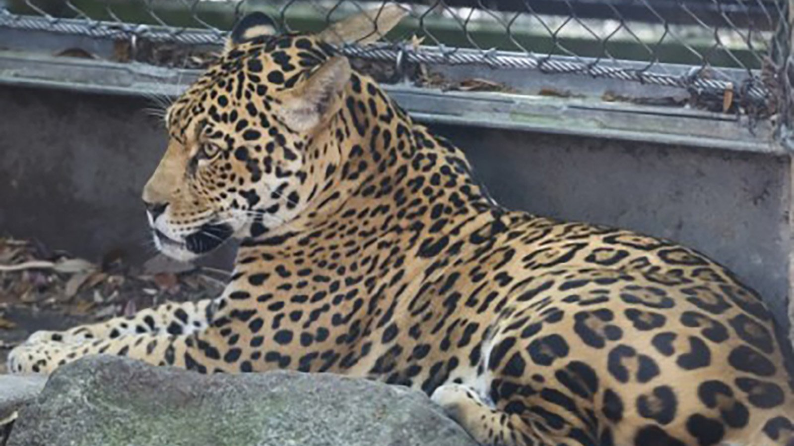 A jaguar was sedated and returned to its area after escaping at Audubon Zoo in New Orleans on July 14, 2018, officials said. (Credit: Audubon Nature Institute via CNN)