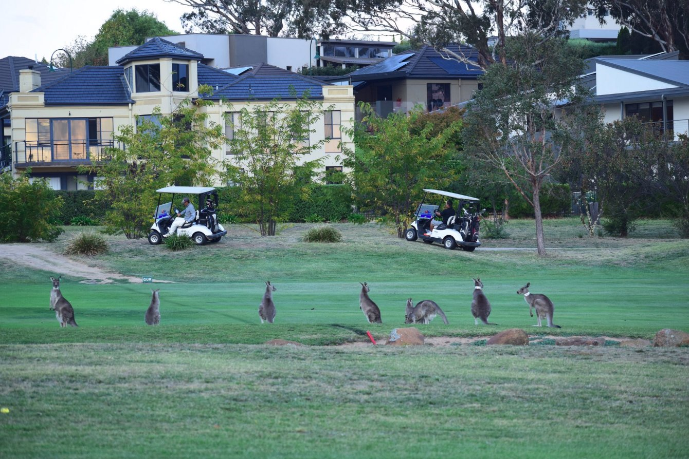 Mobs of kangaroos have been raiding patches of grass in the Australian capital Canberra, driven to the city's sports fields, back yards and roadsides by food scarcity. (Credit: Twitter/@goldcreekcc)
