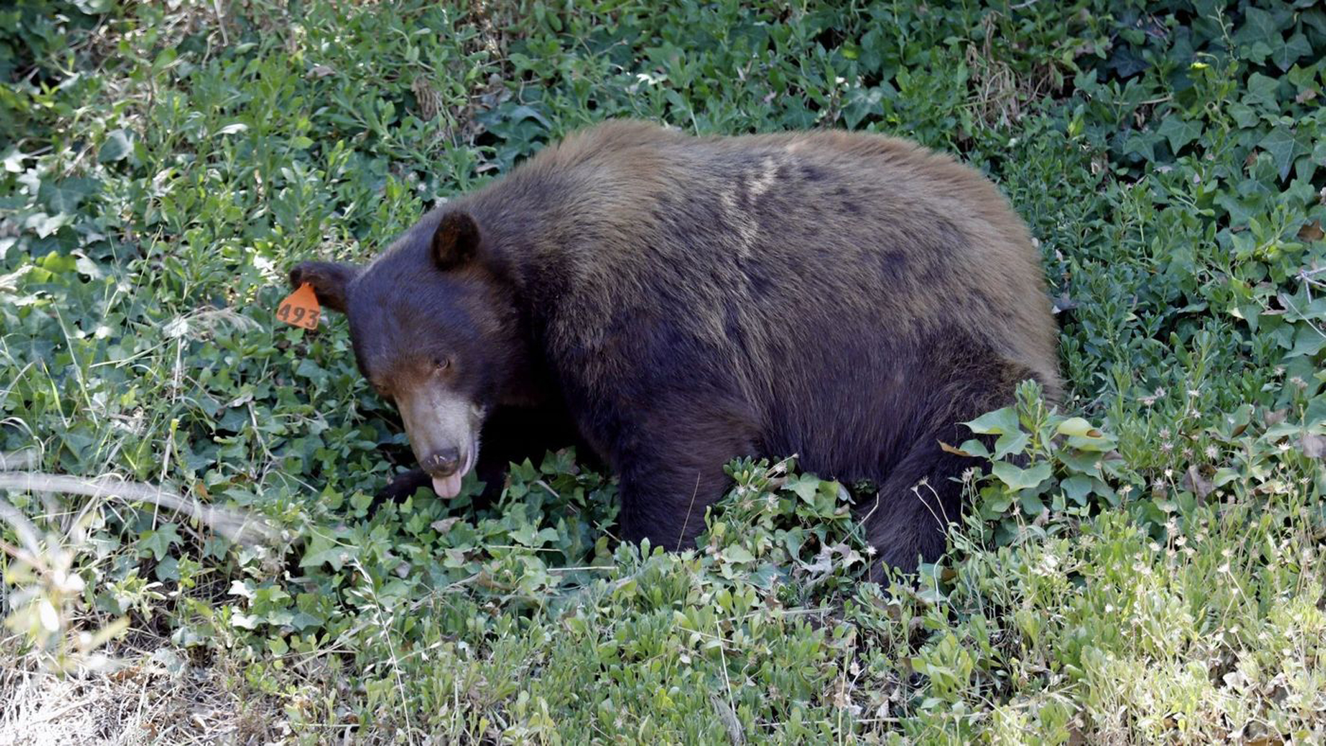A man is being treated at a hospital after being mauled by a black bear that he wounded while hunting in Riverside County. The bear - not pictured - died. This July file photo shows a black bear that was tranquilized and captured by the Department of Fish and Wildlife at Bee Canyon Park in Granada Hills. (Credit: Gary Coronado / Los Angeles Times)
