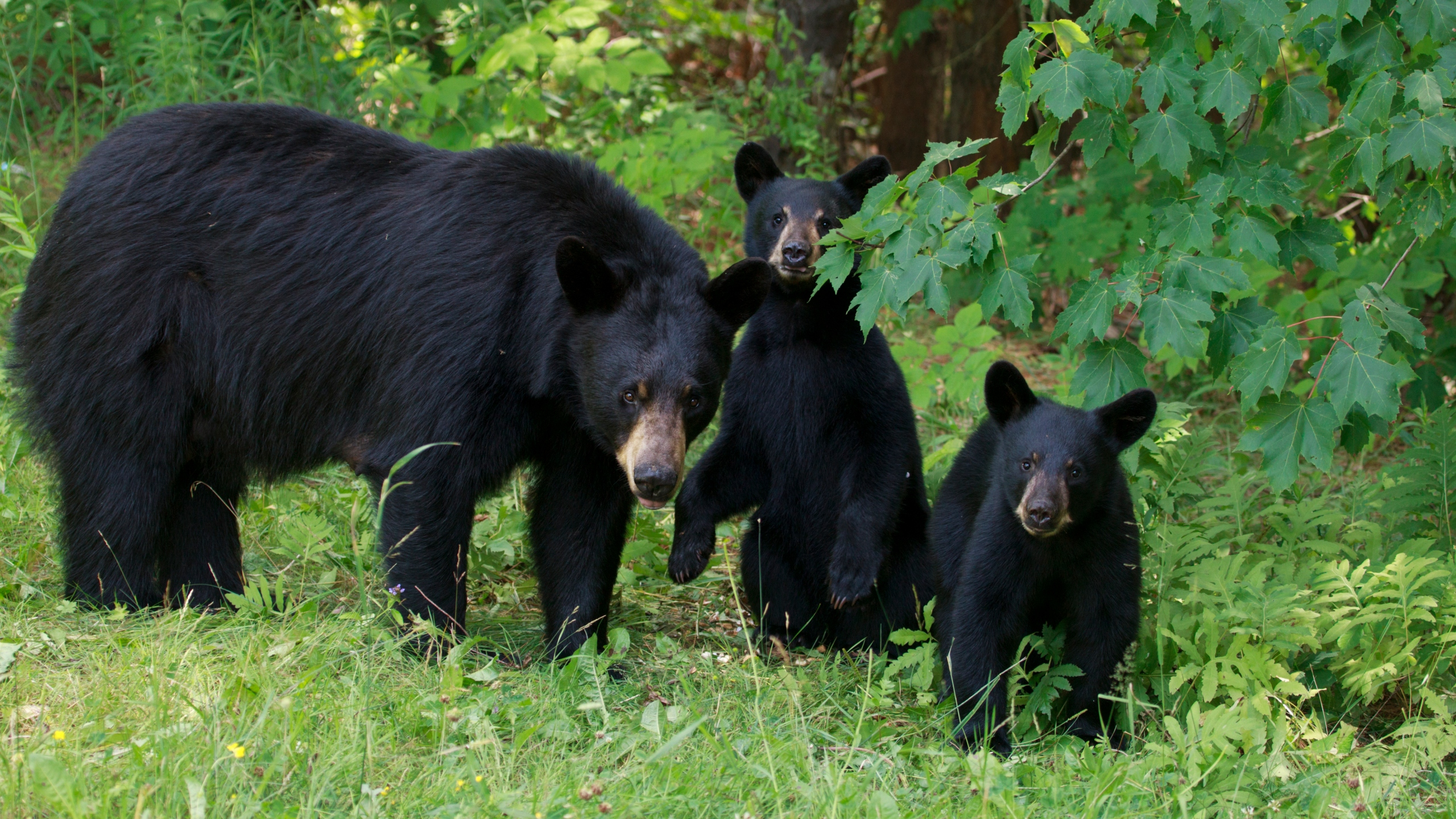 A family of black bears is seen in a file photo. (Credit: iStock/Getty Images Plus)