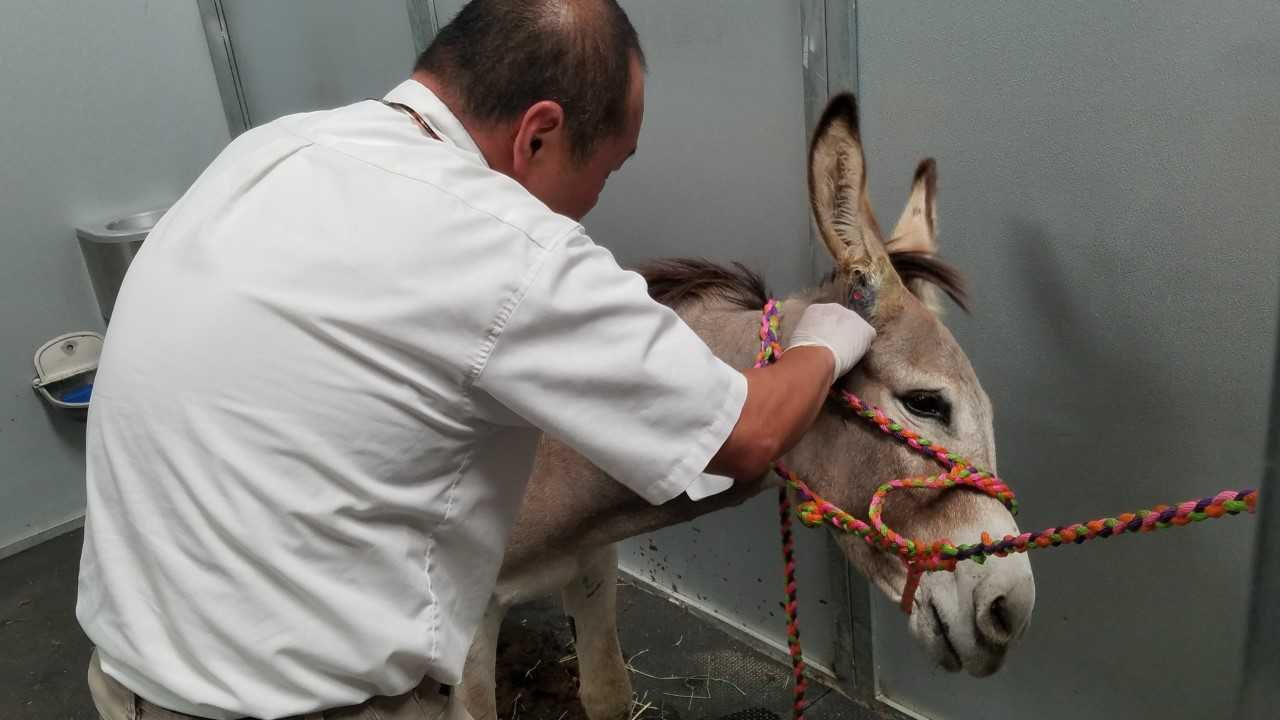 Spirit Bob Barker receives treatment in an image provided by DonkeyLand via The Riverside County Animal Services on Aug. 1, 2018.