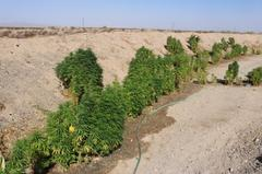 Marijuana plants are seen after being seized from an allegedly unlawful grow in San Bernardino County on Aug. 7, 2018. The Sheriff's Department released this photo the following day.