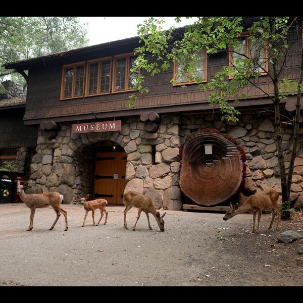 Mule deer graze in front of the museum in the Yosemite Valley after the park closed on July 25, 2018 due to the Ferguson fire. (Credit: Gary Coronado / Los Angeles Times)