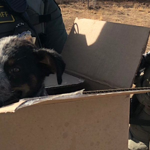 A lethargic and unfed puppy rescued during the raid of a massive marijuana grow in Cuyama Valley, near Santa Maria, on Sept. 26, 2018, has been adopted by one of the investigating Santa Barbara County Sheriff's Office Detectives. (Credit: Santa Barbara County Sheriff's Office)