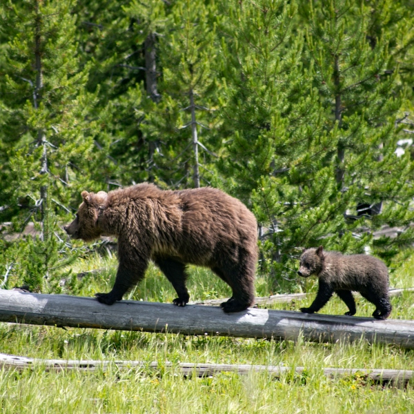 A pair of grizzly bears walk across a log at Yellowstone National Park in a file photo.