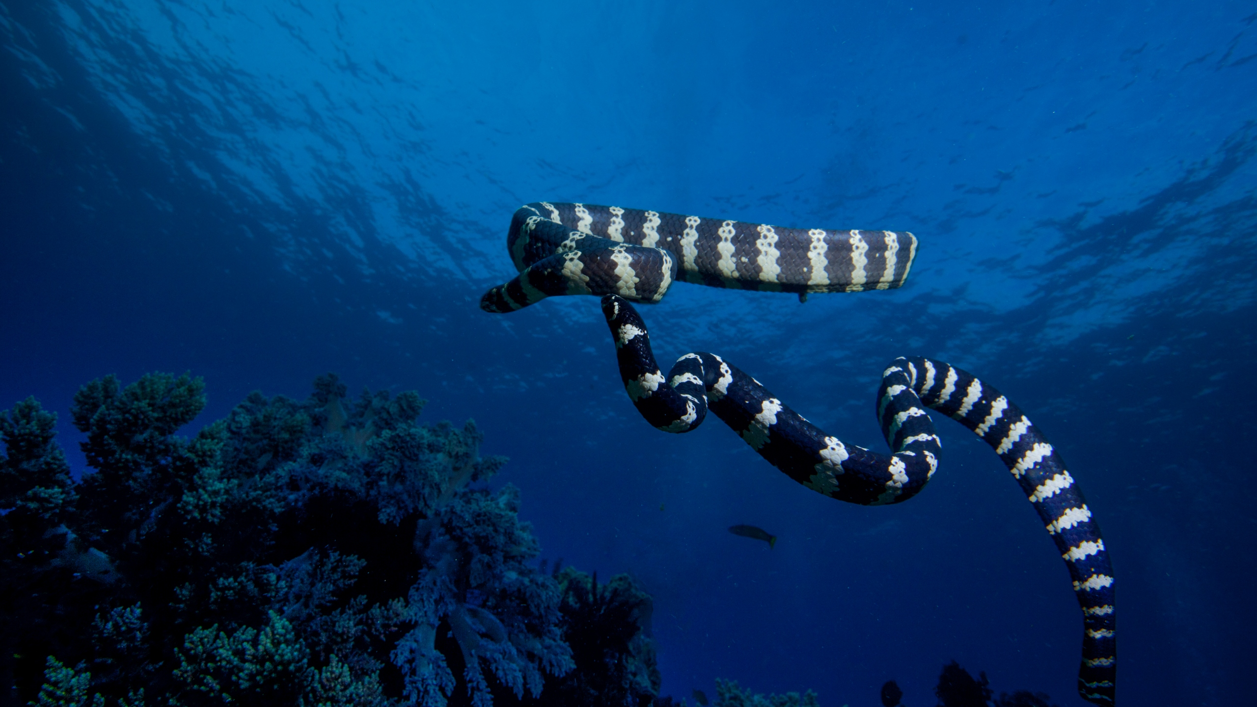 Sea snakes are seen in file image. (Credit: iStock / Getty Images Plus)