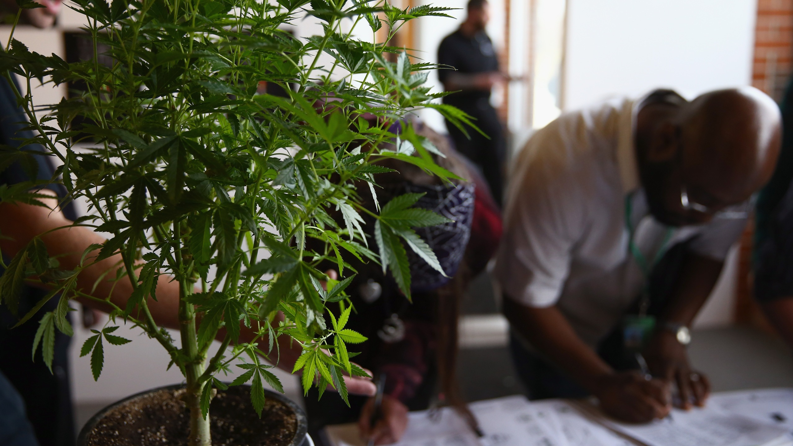 A cannabis plant greets job seekers as they sign in at CannaSearch, Colorado's first cannabis job fair, on March 13, 2014, in Denver. (Credit: Doug Pensinger/Getty Images)